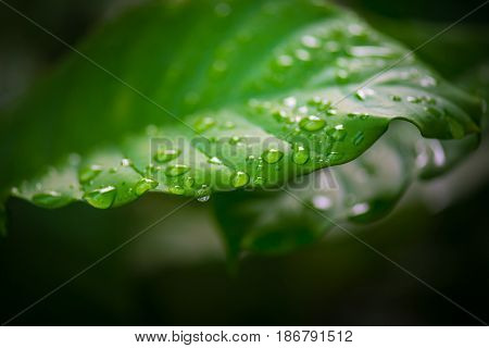 Drop of water on green leaf of tree in the morning