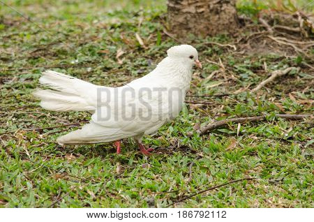 white rock pigeon includes the domestic pigeon Escaped domestic pigeons have raised the populations of feral pigeons around the world