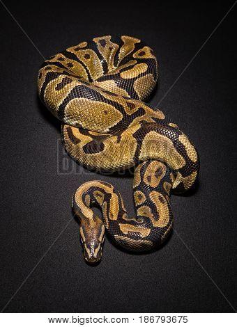 Image of brown ball python on black background