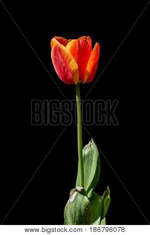 Backlit tulips flower on a black background
