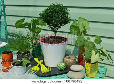 Vintage still life with myrtle tree and garden tools. Gardening concept with flowerpots, houseplants and planting supplies