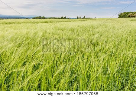French countryside. Cornfield on a windy day in the French Department of Drome.