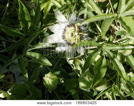 detail of passion flower in a meadow