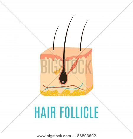 Hair follicle diagram. Hair bulb medical diagnostics symbol. Treatment and transplantation concept. Vector illustration.