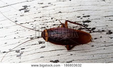Cockroach isolated on white outdoor and background . .