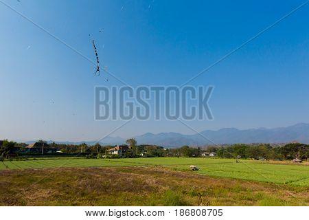Spider On Rice Field Background