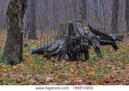 The old forest stump lies on its side in the autumn forest.