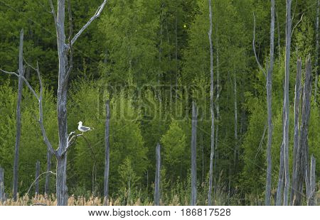 Spring forest and dry trees on foreground. Seagull on a tree branch.