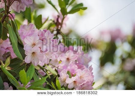 Flowering of fresh tender Rhododendron maximum pink flowers with green leaves at spring time. Natural floral seasonal holiday background with copy space.