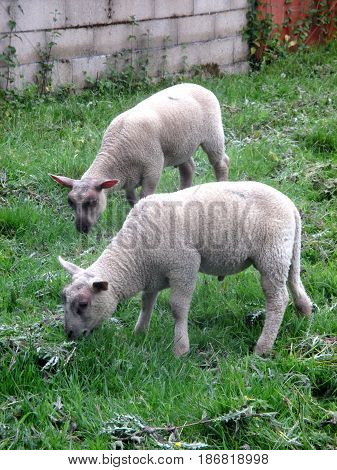 two lambs in their grazing a summer afternoon sheeps