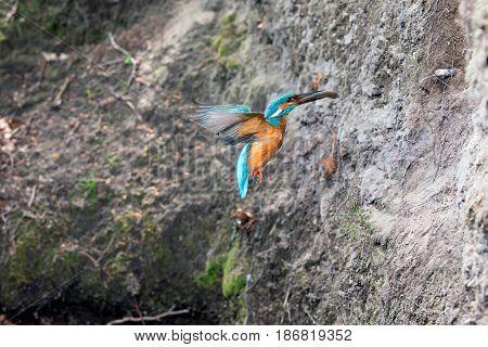 Kingfisher With Fish In Beak Flying Towards Nest Hole.