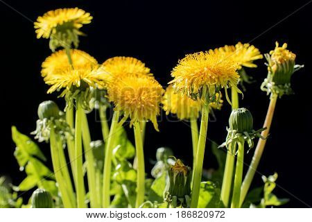 Yellow dandelion flowers on a black background