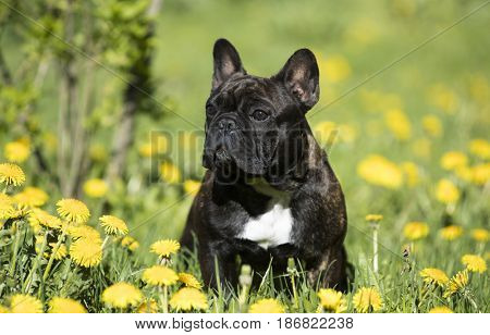 French bulldog sitting on a meadow in dandelions