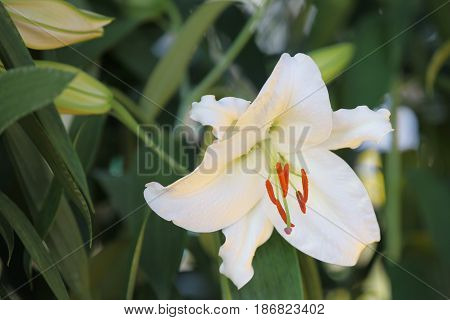 Flowering of colorful lilies Thailand South East Asia