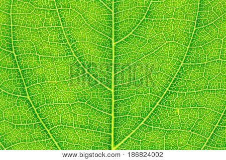 Leaf texture, leaf background for design. Leaf motifs that occurs natural.