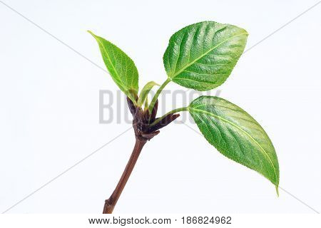 Bloom green sprig of poplar. Isolated on white background.