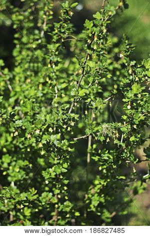 Young gooseberry Bush in early spring. On the branches of many small green flowers.Flowering gooseberry.