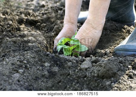 Spring planting in the garden. A man plants seedlings young seedlings of eggplant in the ground.
