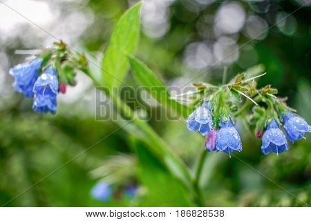 Natural background with blue bells with raindrops in focus with and beautiful green blurred foliage and flowers.