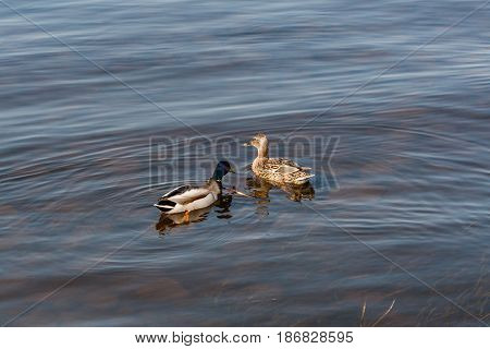 Duck And Drake Float On The Water