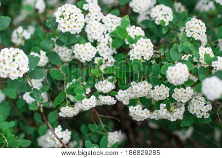 Background Of White Small Flowers, Flowering Bush. Horizontal Frame