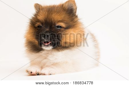 funny pomeranian puppy the age of 2 month isolated on white background