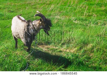 The goat grazes on a green meadow, copyspace