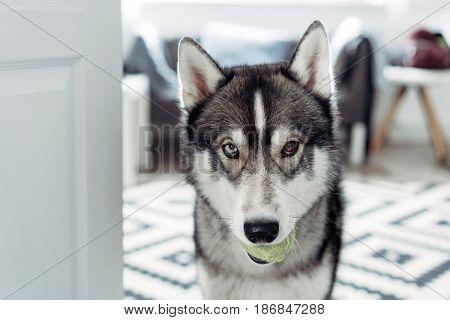 Beautiful siberian husky. Beautiful husky dog looking at the camera