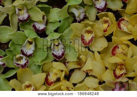 Green orchids and yellow orchids flowering in a garden.