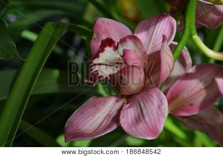 Pretty flowering orchidaceae blossom in a garden.