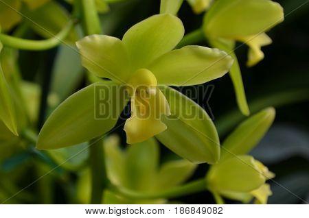 Pretty green orchidaceae flower blooming in a garden.