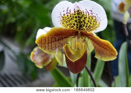 Flowering white yellow and red orchid blossom.