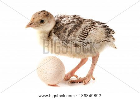 Chicken turkey with egg isolated on a white background.