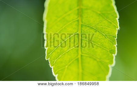 closeup on green leaf with blured green background
