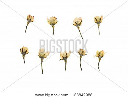 Pressed and dried plum flowers buds plum. Isolated on white background. For use in scrapbooking pressed floristry (oshibana) or herbarium.