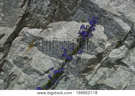 enzian between rocks