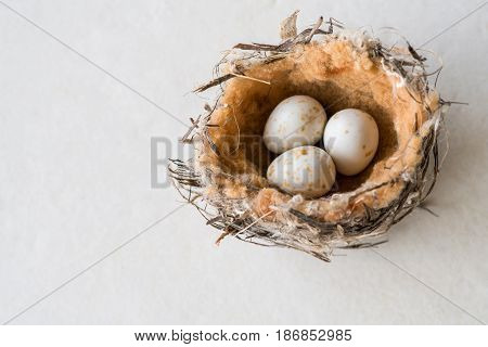 Bird nest of a tiny honeyeater with three speckled eggs