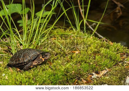 A young Bog Turtle in natural habitat.