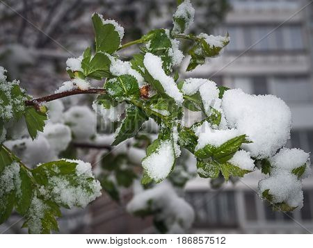 Abnormal natural phenomenon. Snow frost frost in late spring during the flowering of trees. The branch under the snow