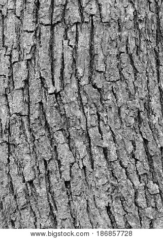 ash tree bark with cracks and texture