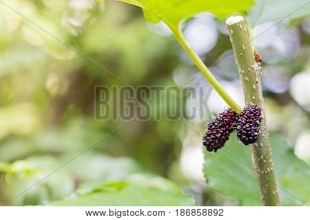 black and red Mulberry fruit on the branch. fresh organic mulberry fruit. black ripe and red unripe mulberries on the branch.