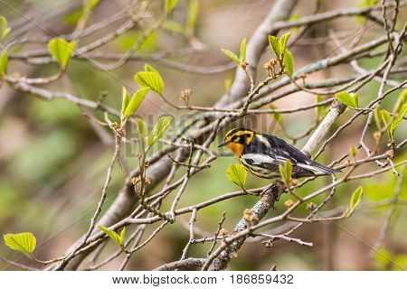 A Blackburnian Warbler perched on a branch during spring migration.