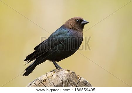 A Brown-headed Cowbird seen during the spring migration in Wisconsin.