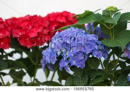 Blue and red hydrangea flowers. Hydrangea (common names hydrangea or hortensia) is a genus of 70-75 species of flowering plants.