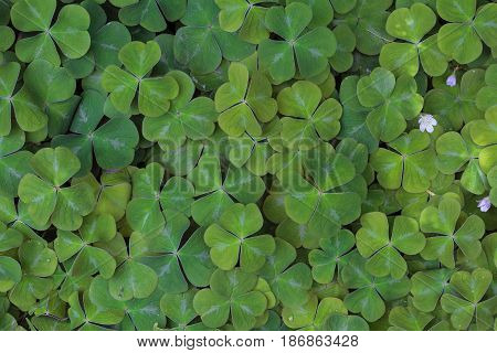 Redwood Sorrel growing dense in the woods of Oregon Pacific Northwest forest in Spring Season