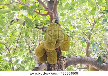 young Jackfruit on the jackfruit tree , tropical fruit