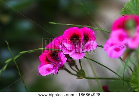 Multicolour Pelargonium Grandiflorum. French geraniums are very rich flowering pelargonium varieties.