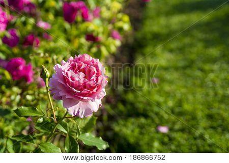 Rose flower in the ornamental garden of Cervantes Park or Parque de Cervantes in Barcelona, Spain.
