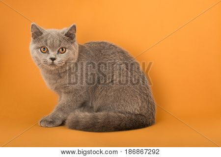Domestic cat pet kitten animal cute domestic animal pussycat