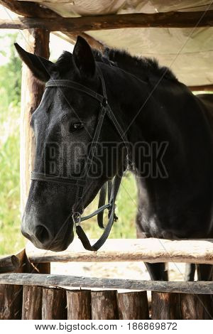 Black horse standing in a wooden stall